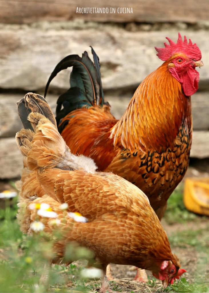 Il galletto e la gallina